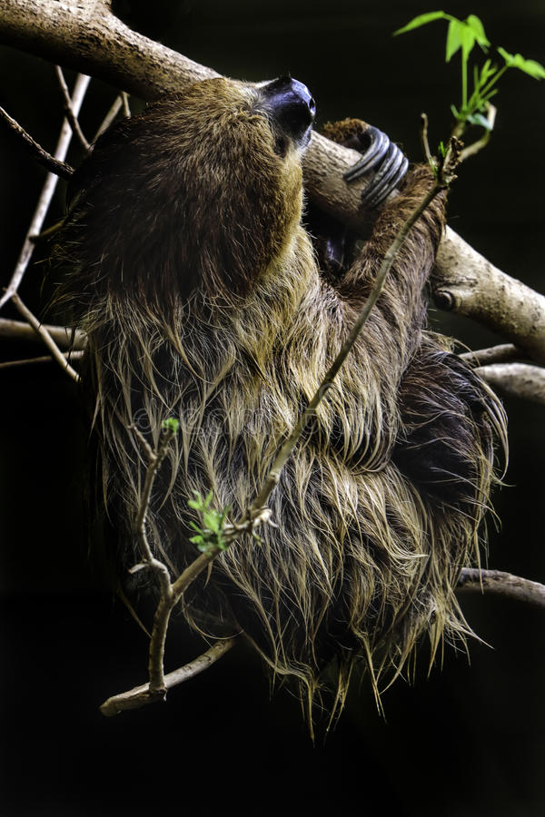 Sloth. Two Toed Sloth Hanging On Tree Branch Against Dark Background stock image