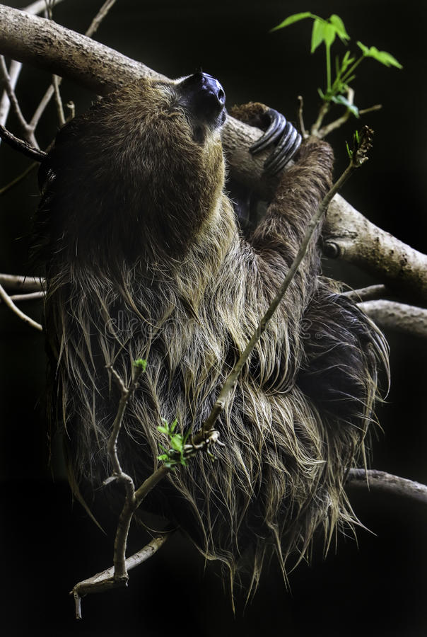 Sloth. Two Toed Sloth Hanging On Tree Branch Against Dark Background royalty free stock photography