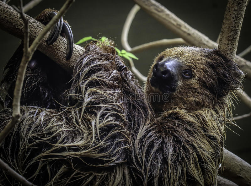 Sloth. Two Toed Sloth Hanging On Tree Branch Against Dark Background stock images