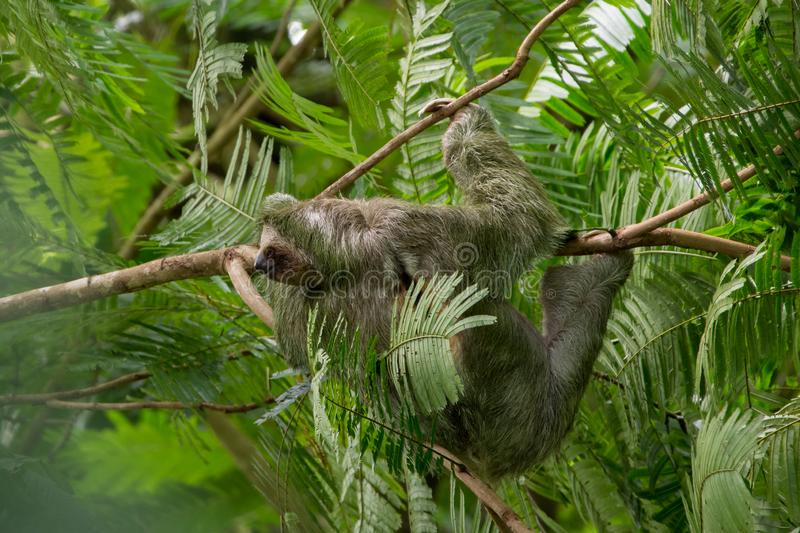 Three Toed Sloth Bradypus Variegatus, taken La Fortuna, Costa Rica. The sloth is the world`s slowest mammal, so slow that algae grows on its furry coat. The royalty free stock image