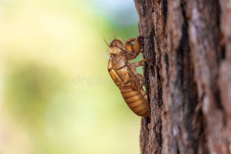 Slough de la muda del insecto de la cigarra en árbol de pino en el parque nacional de Luang del salaeng de Thung Provincia de Phe imagen de archivo libre de regalías