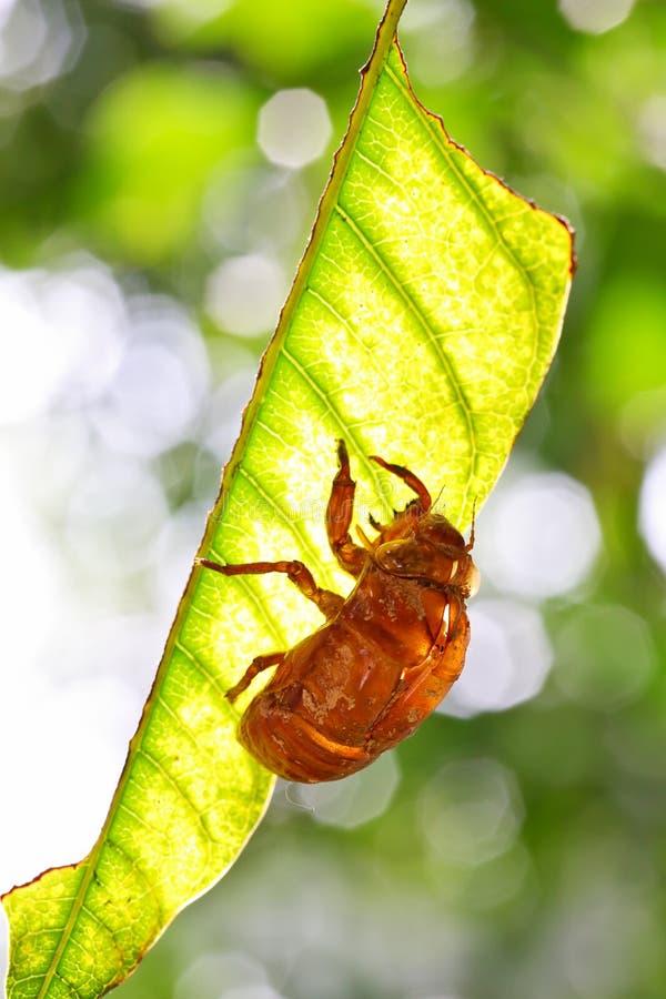 Slough van de cicade stock afbeelding