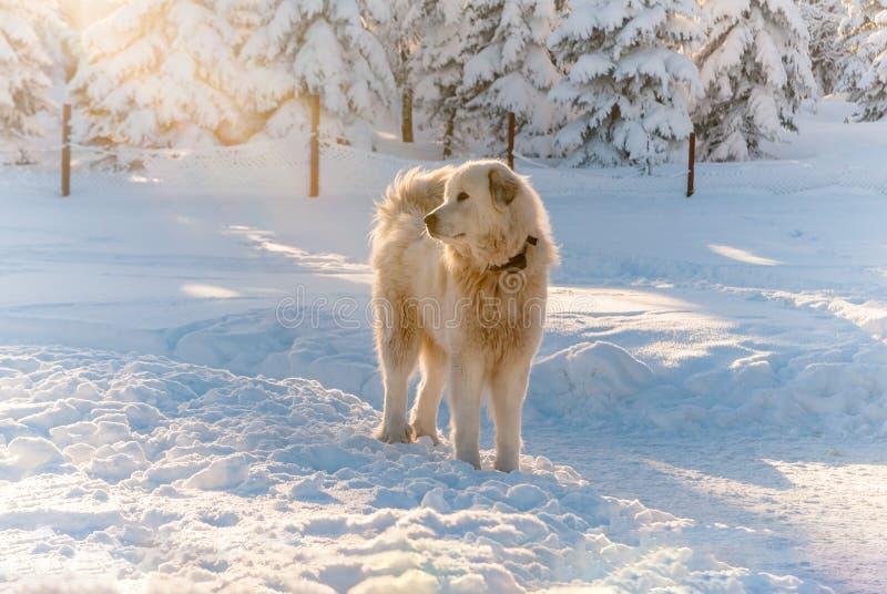 Slovak Cuvac dog white snow mountain hairy sheepdog sun stock images