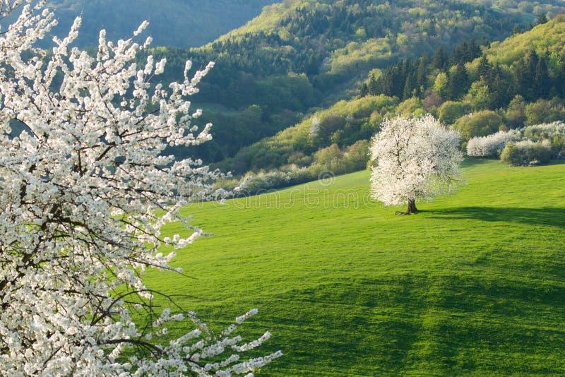 Slovakian spring landscape cherry tree royalty free stock photo