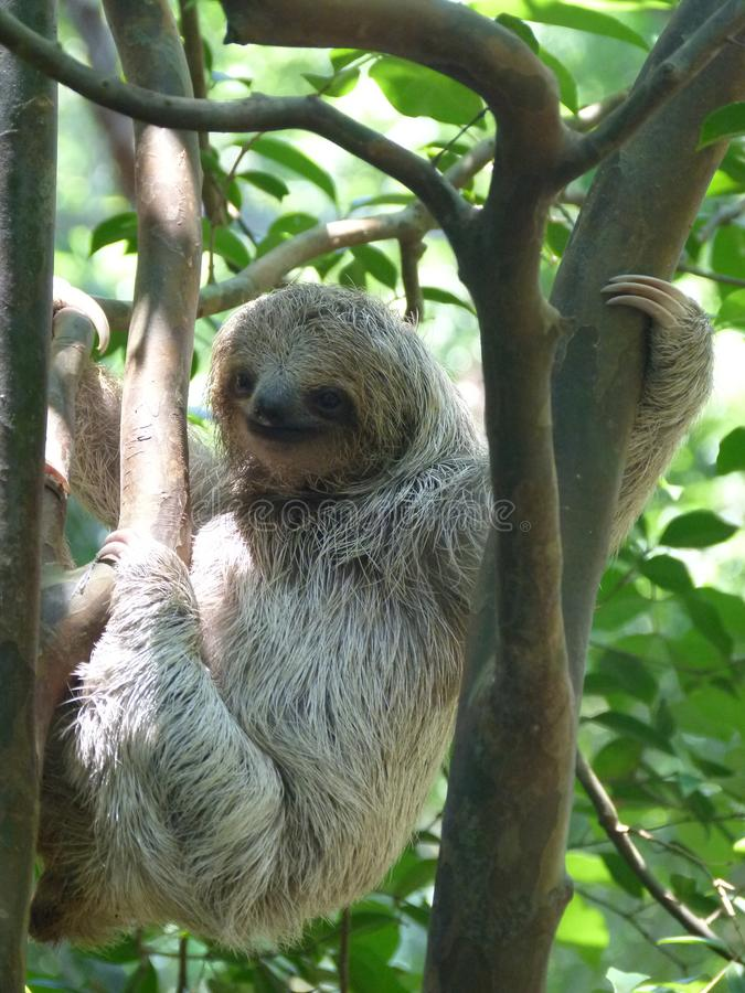 Slow climbing by a baby sloth. An orphan baby sloth is exercising her skills in climbing stock photo