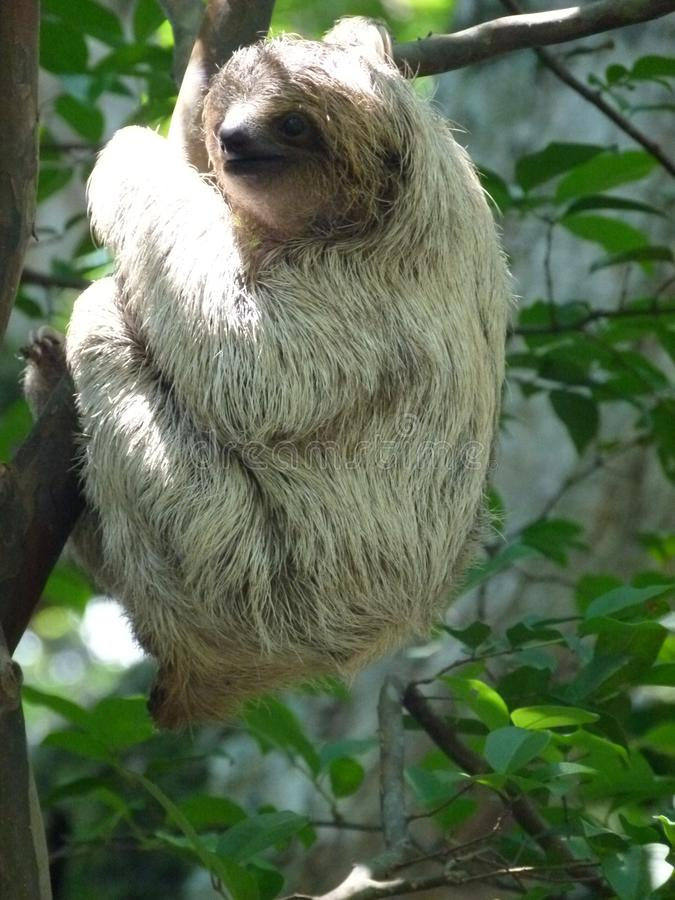 Slow climbing by a baby sloth. An orphan baby sloth is exercising her skills in climbing stock photography