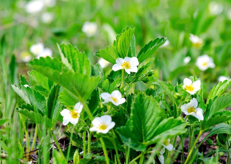 Slow motion video of beautiful strawberry flowers on a spring meadow close up, swaying by the wind.  royalty free stock photo