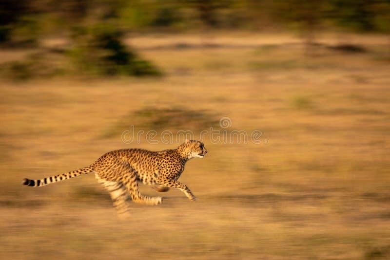 Slow pan of cheetah sprinting through grass royalty free stock photos