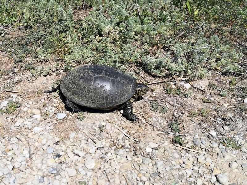 Turtle on the county road royalty free stock image