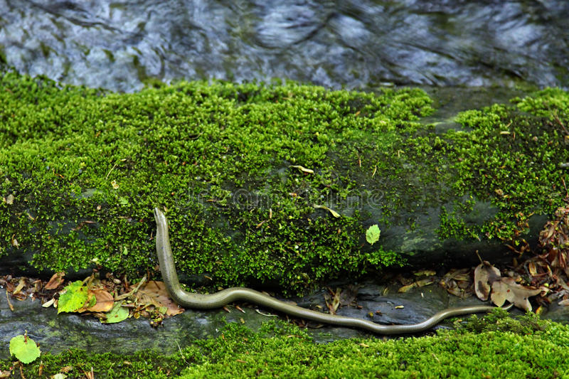 Download Slow worm stock photo. Image of species, reptile, creature - 33454956