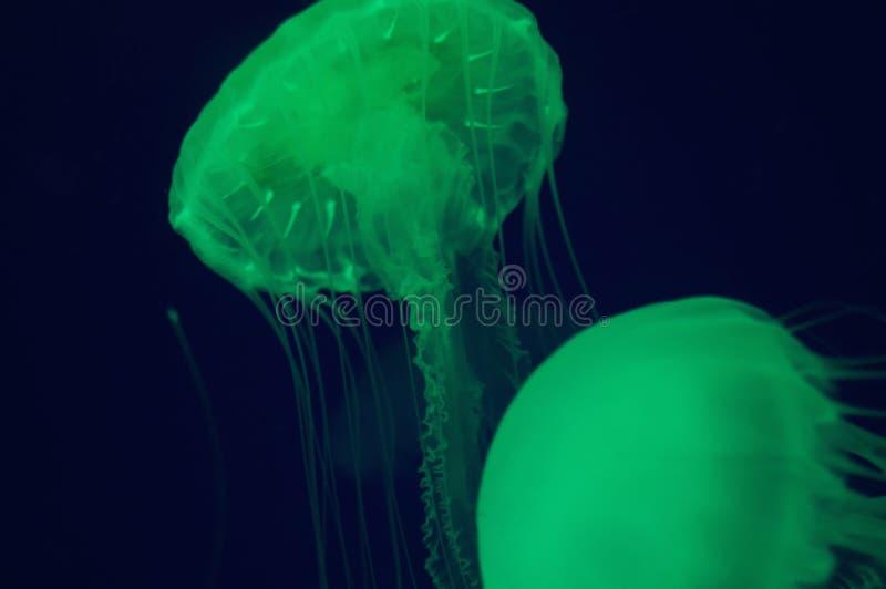 Slowcolor медуз освобождает стоковая фотография