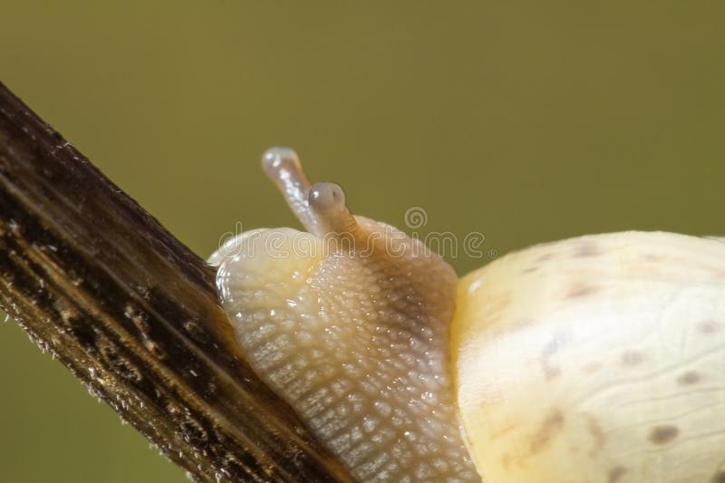 Slowly, but accurately to achieve the objectives. Only forward. Snail, wildlife. HD stock photography
