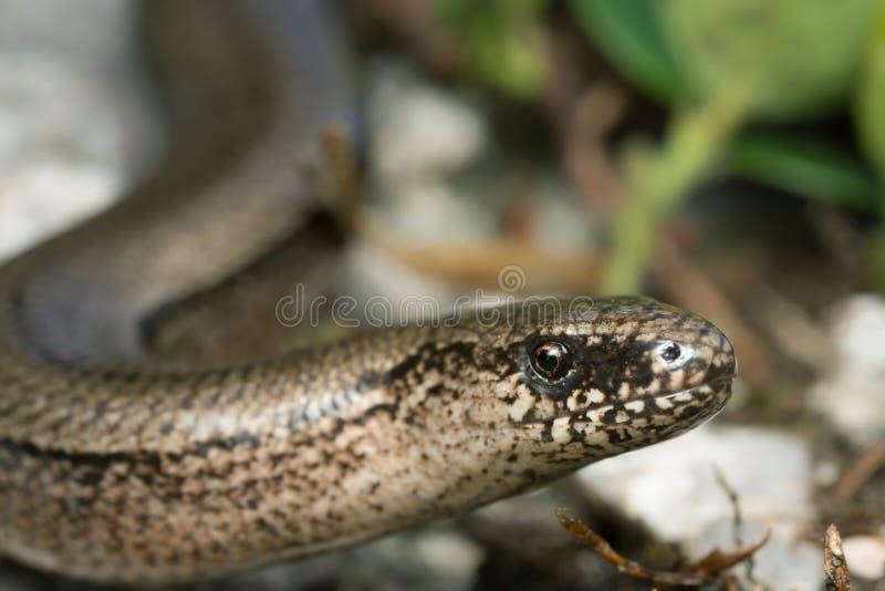 slowworm anguis fragilis стоковое изображение