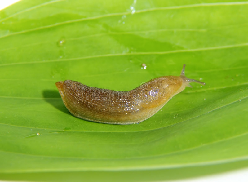 Slug. Photo of SLug on Leaf royalty free stock photos