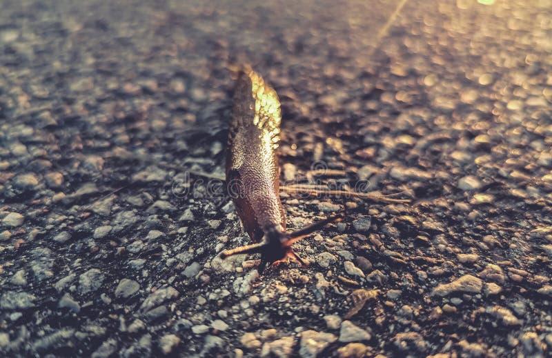 Slug on asphalt road. A slug making its way across a road stock image