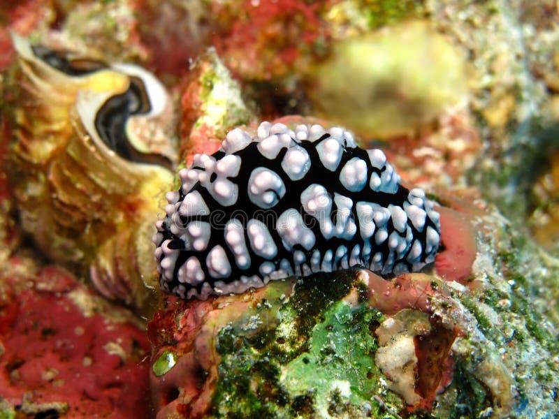 Slug de mar imagem de stock