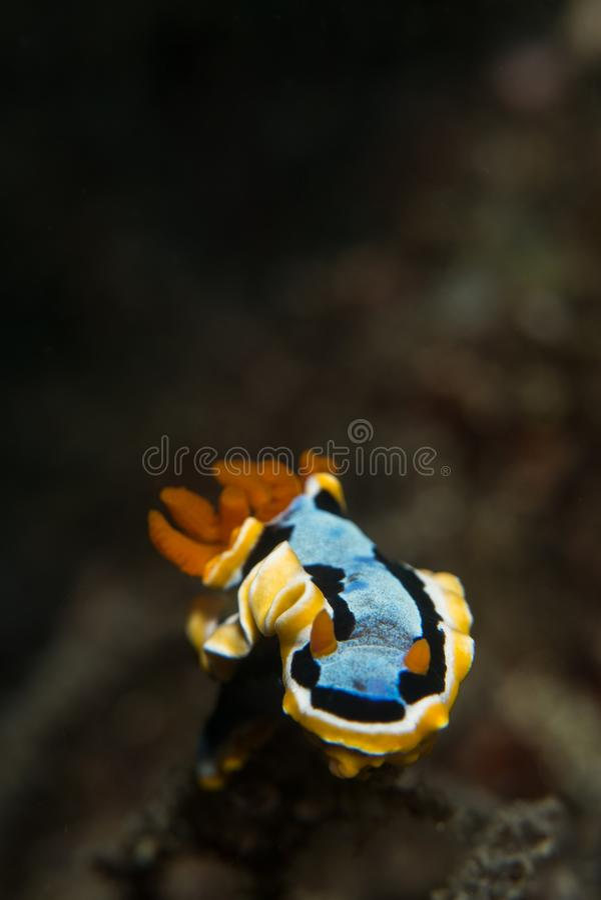 Slug de mar colorido fotos de stock