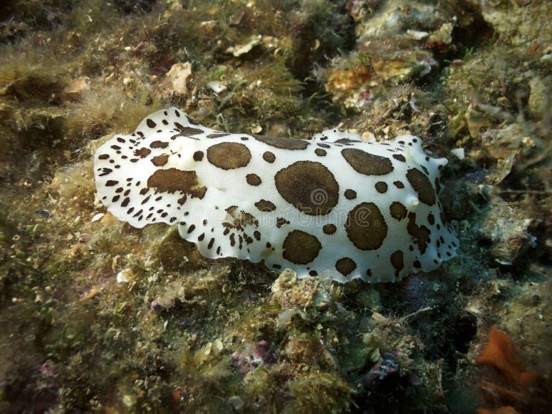 Slug de mar pontilhado foto de stock