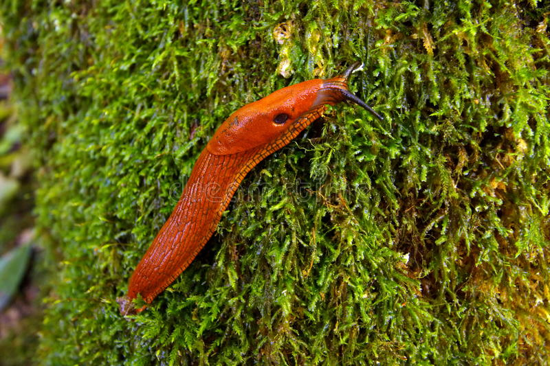 Slug in the forest. Close up of a beautiful slug moving slowly on the tree trunk green moss stock photography