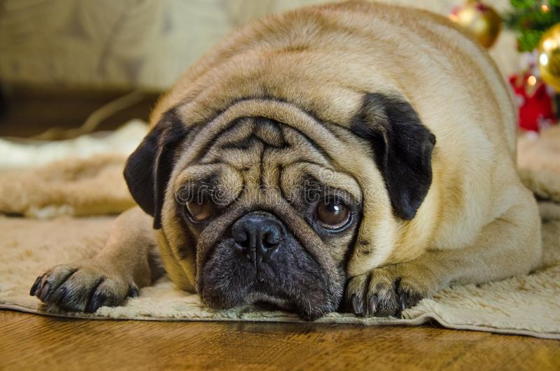 Sluggish, lazy, dull dog at new year holidays. pet is sad beige, fawn pug. thick, fat room dog lay near christmas tree. Background is traditional holiday home royalty free stock images