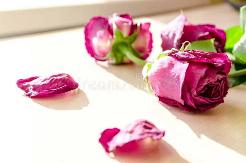 Sluggish red rose. On a light background. Dried rose petals on white background. Flowers. Love royalty free stock image
