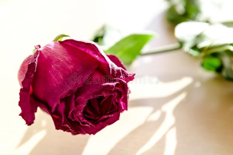 Sluggish red rose. On a light background. Flowers. Love stock photo