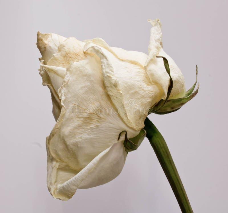 Sluggish white rose. Close up stock photo