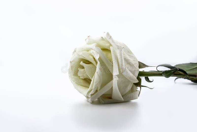 Sluggish white rose isolated on white background.  stock images