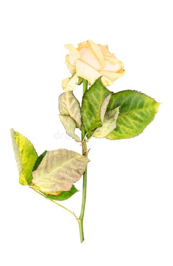 Sluggish yellow rose. Isolated on white background royalty free stock photography