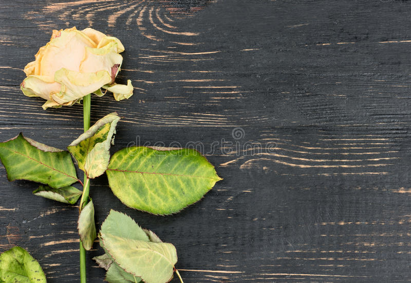 Sluggish Yellow Roses. Sluggish yellow rose on wooden background, top view royalty free stock images