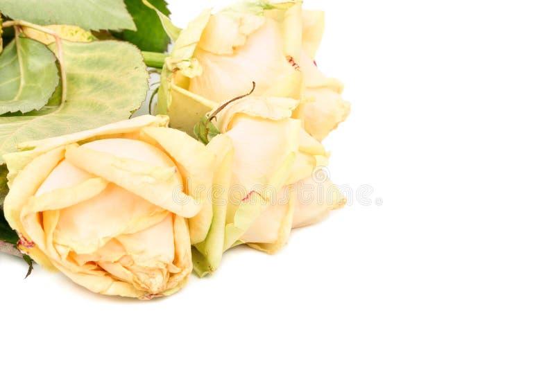 Sluggish Yellow Roses. Sluggish three yellow roses on white background, closeup stock photos