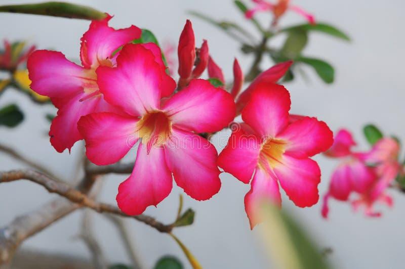 Sluit Adenium-omhoog bloemen in aard stock fotografie