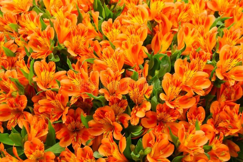 Sluit Alstroemeria-omhoog bloemen in volledige bloei stock afbeeldingen