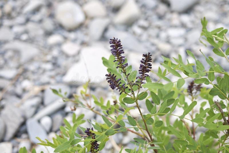 Sluit Amorpha-omhoog fruticosainstallatie stock fotografie