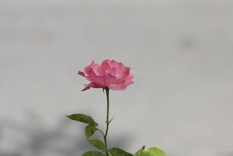 Sluit beeld van roze wild steeg met romige achtergrond royalty-vrije stock afbeeldingen