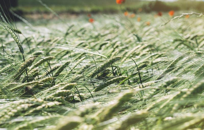 Sluit bloemen van menings omhoog de gele papavers en groene kegelstarwe op achtergrondaardgebied Het landelijke terug vage landsc royalty-vrije stock foto