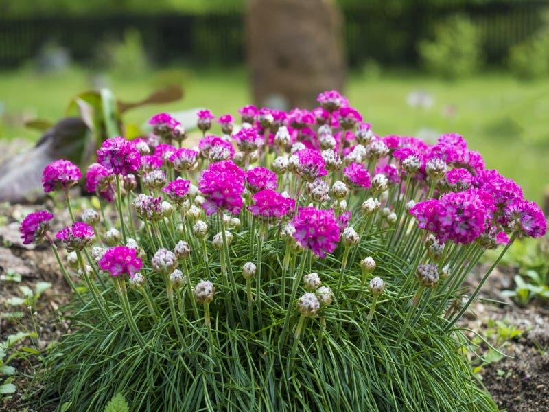 Sluit bos van roze die het bloeien Armeria maritima, omhoog algemeen als zuinigheid, overzeese zuinigheid of overzees roze, speci stock foto's