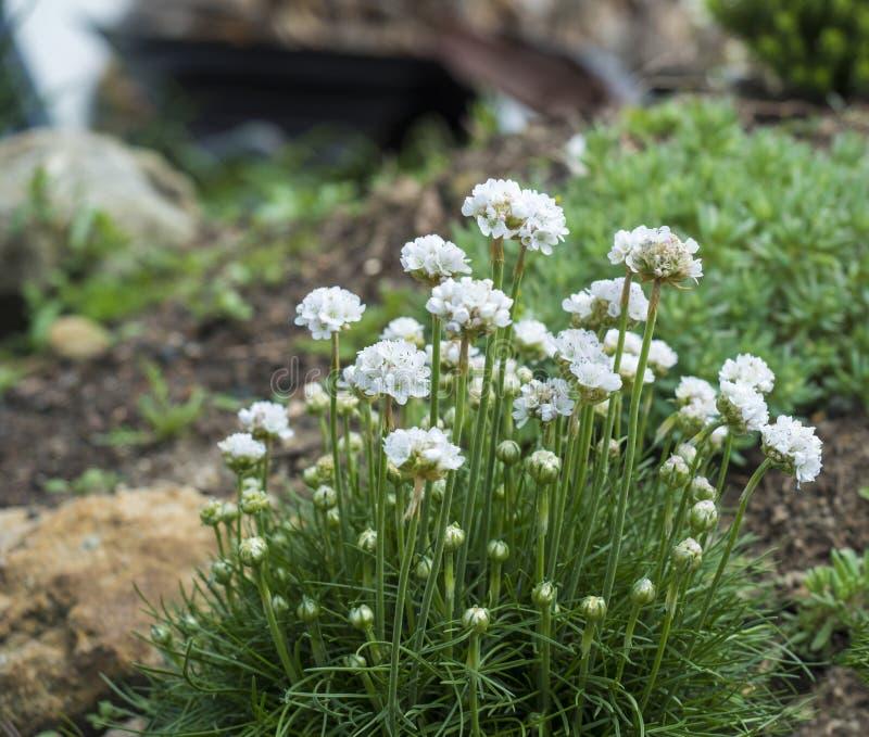 Sluit bos van witte die het bloeien Armeria maritima, omhoog algemeen als zuinigheid, overzeese zuinigheid of overzees roze, spec stock foto's