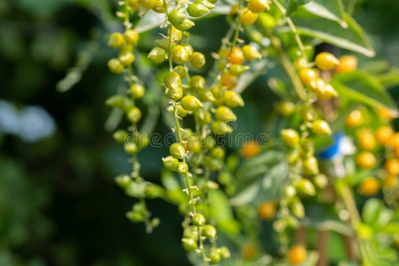 Sluit de foto van de zaden van Duranta erecta of Golden Dewdrop, Crepping Sky Flower stock foto's