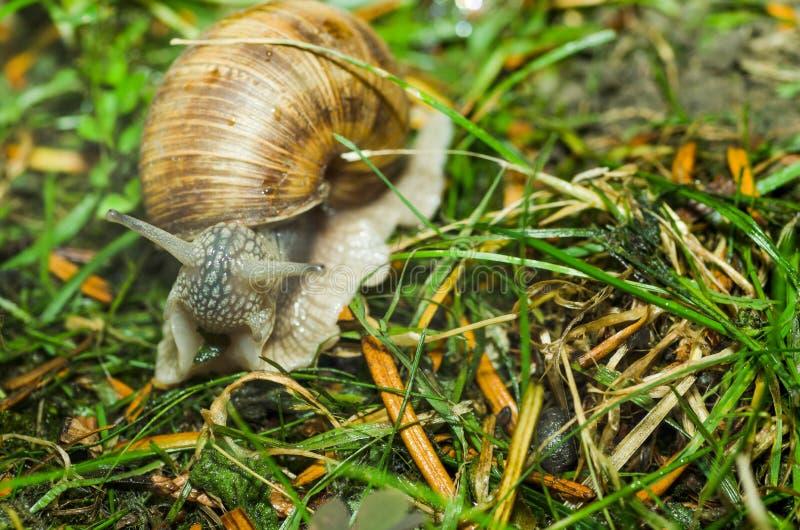Sluit de tuin gemeenschappelijke slak in shell die over het groene gras na de regen kruipen, omhoog selectieve nadruk stock foto's