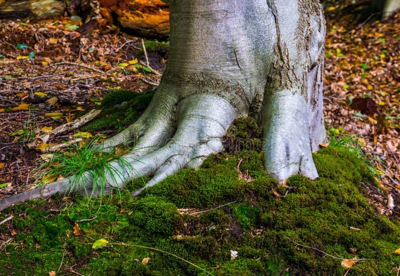 Sluit een grijze boomstam met stevige wortels en groene mos bekleding, natuurachtergrond, liesbos, Breda, Nederland stock afbeeldingen