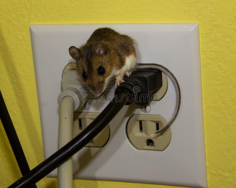 Sluit eerlijke mening van een bruine huismuis die over twee draden in een elektroafzet niet uitspreken zich royalty-vrije stock fotografie