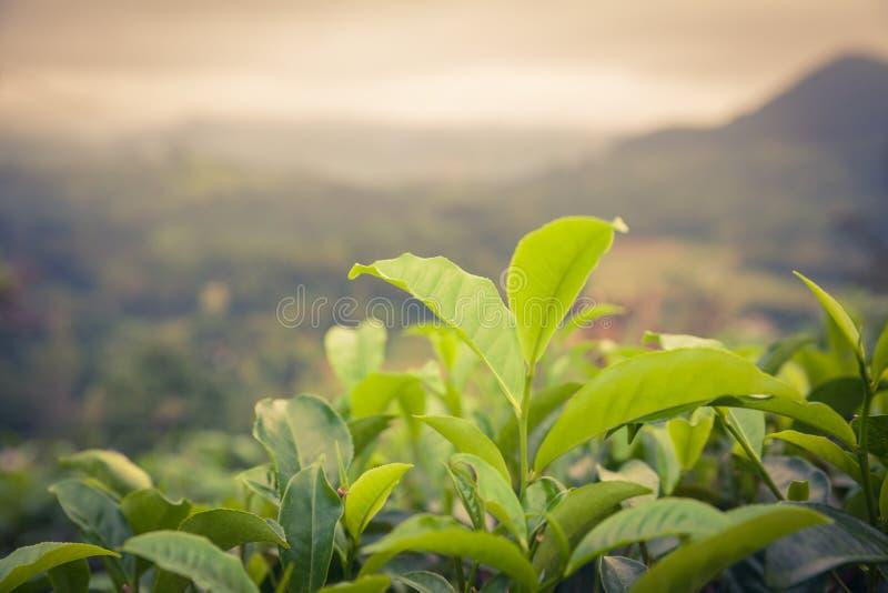 Sluit fesh omhoog groene theebladen met ochtendgloed stock afbeeldingen