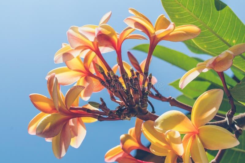 Sluit Foto van Gele Plumeria Flower stock afbeeldingen