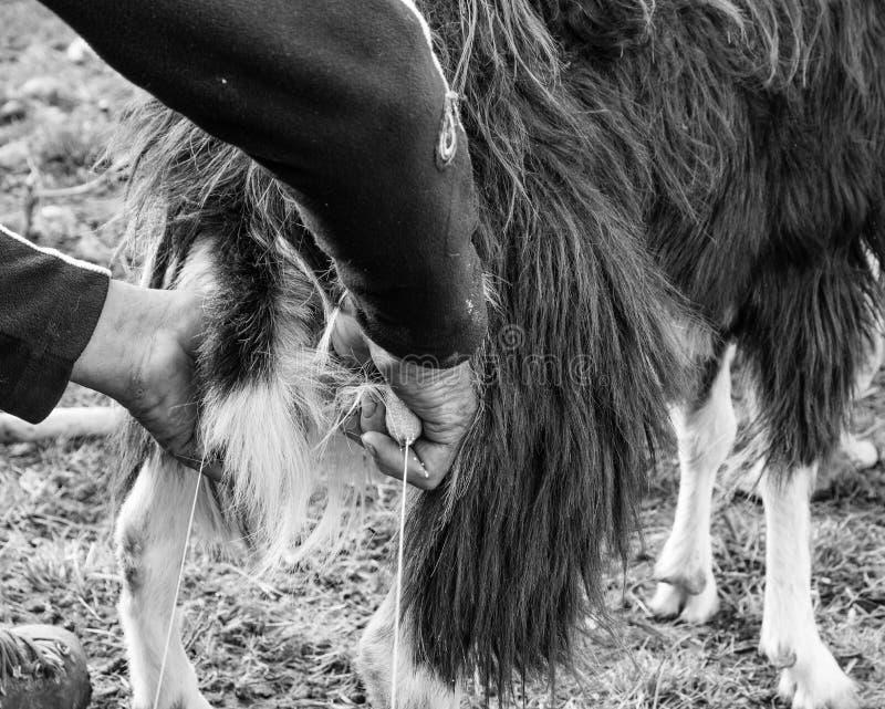 Sluit geit omhoog het melken in landbouwbedrijf royalty-vrije stock foto's