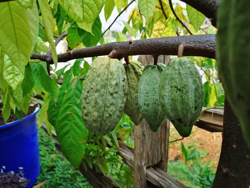 Sluit Groene Cacaopeulen groeien op de boom royalty-vrije stock fotografie