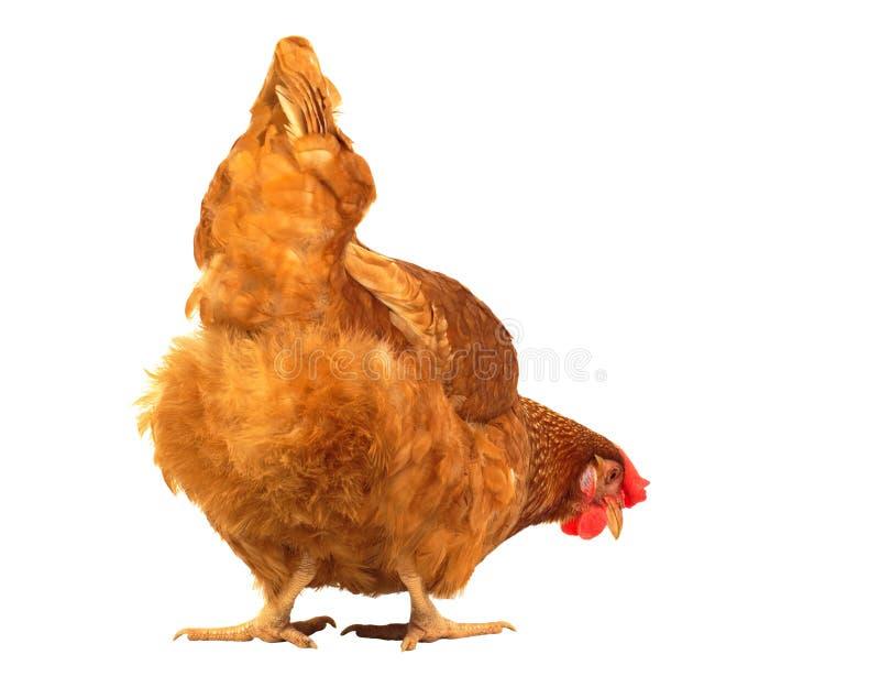 Sluit kippenkip die iets eten isoleerde omhoog witte achtergrond royalty-vrije stock afbeelding