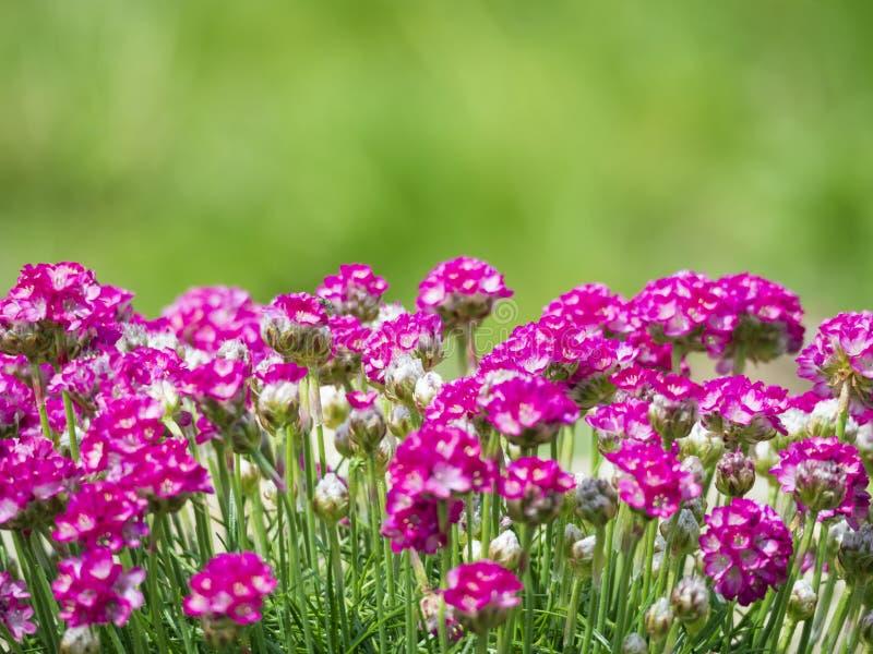Sluit macro van bos van roze die het bloeien Armeria maritima, omhoog algemeen als zuinigheid, overzeese zuinigheid of overzees r stock afbeelding