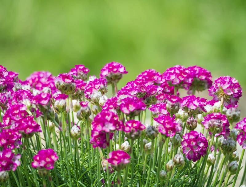 Sluit macro van bos van roze die het bloeien Armeria maritima, omhoog algemeen als zuinigheid, overzeese zuinigheid of overzees r stock foto's