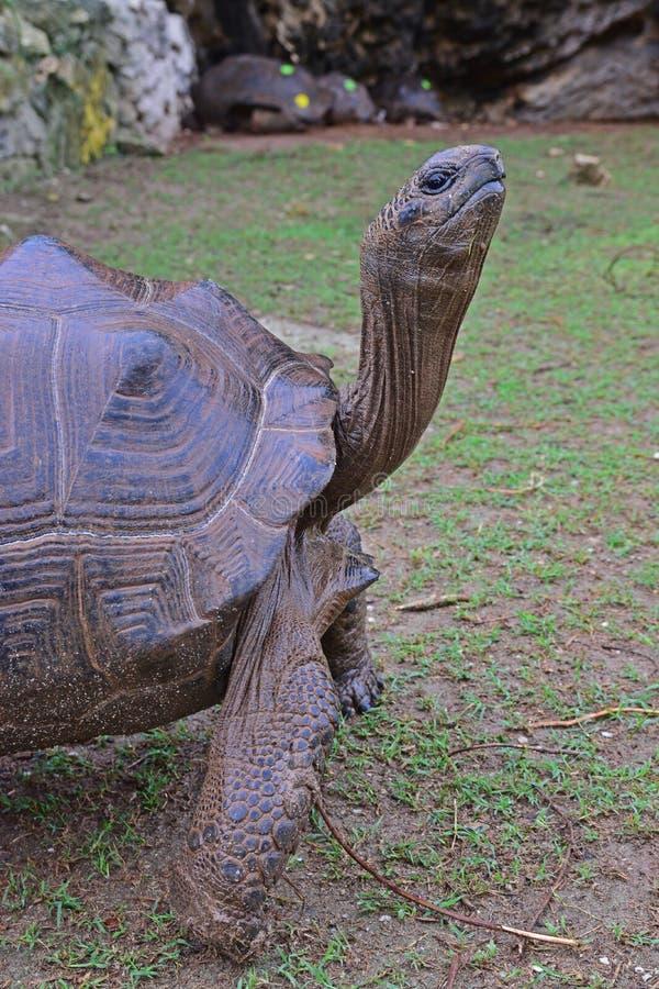 Sluit Mening die van A de reuzeschildpad van Aldabra met haar vier sterke benen omhoog bevinden zich stock foto's